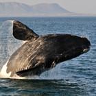 whale-hermanus-th